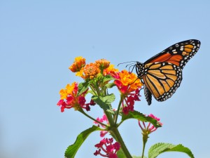 Postal: Mariposa monarca en una asclepia