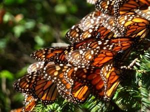 Mariposas monarca en las ramas de un oyamel
