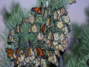 Postal: Ramas de oyamel con algunas mariposas monarca