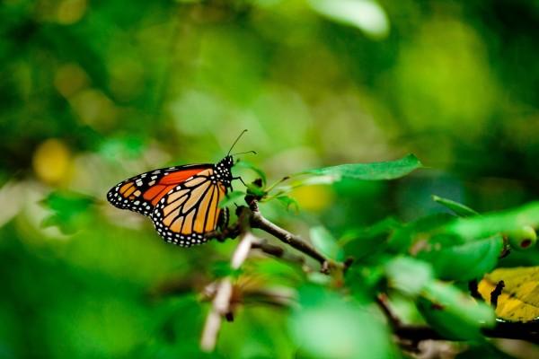 Mariposa monarca en una rama