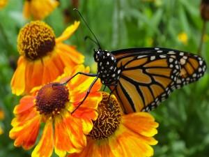 Postal: Mariposa monarca posada en unas bellas flores naranjas