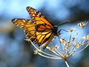 Postal: Alas desplegadas de una mariposa monarca