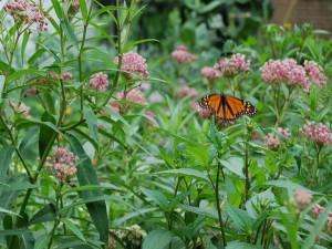 Mariposa monarca en un campo de asclepias incarnata