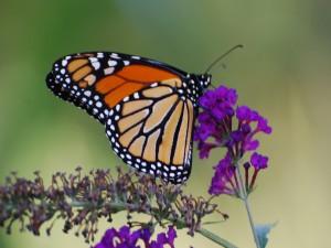 Postal: Una monarca sobre pequeñas flores moradas