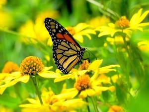 Una mariposa monarca en un campo de flores amarillas