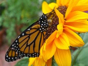 Postal: Mariposa monarca en un girasol