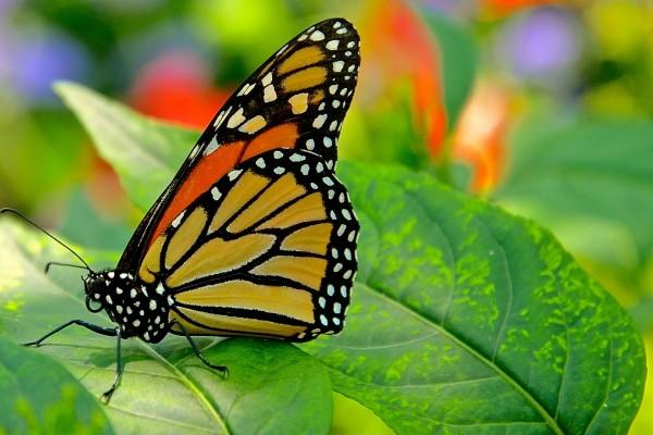 Mariposa monarca posada en una hoja verde