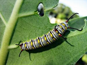 Oruga de mariposa monarca comiendo una hoja
