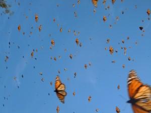 Vuelo de mariposas monarca
