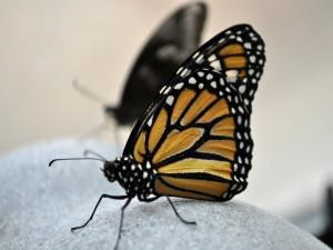 Mariposa monarca sobre una roca