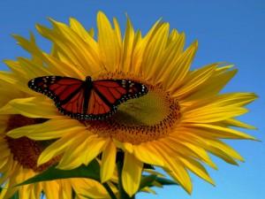 Postal: Gran girasol con una mariposa monarca