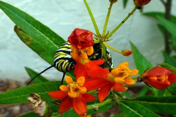 Orugas monarca alimentándose de la planta flor de sangre