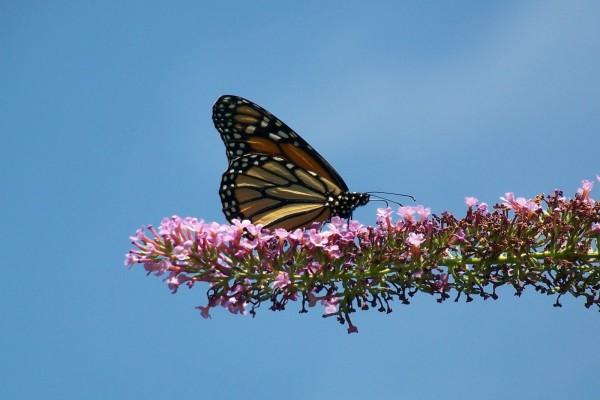 Mariposa monarca en una rama repleta de flores