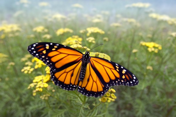 Mariposa monarca volando sobre un campo de flores amarillas