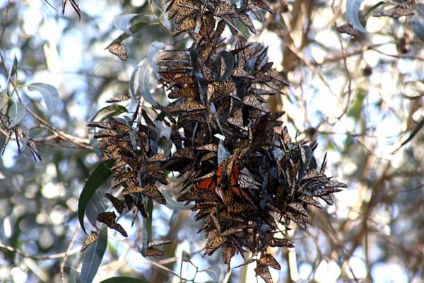 Rama de un eucalipto cubierta de mariposas monarca