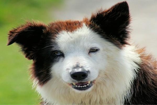 La cara de un bonito Border Collie