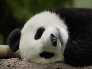 Oso panda dormido