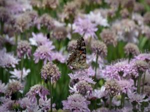 Postal: Mariposa en un campo de flores lilas