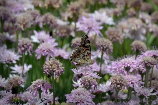 Mariposa en un campo de flores lilas