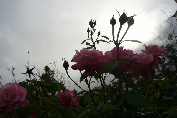 Rosal mojado por la reciente lluvia