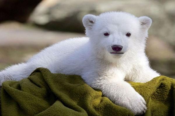 Un bonito cachorro de oso polar
