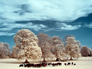 Vacas pastando junto a los árboles