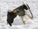 Un águila volando bajo la nieve