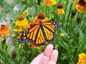 Tocando una delicada mariposa monarca