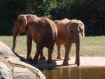 Elefantes en un zoo