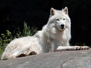 Un bello lobo blanco tumbado sobre la roca