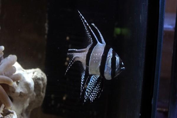 Un bonito pez rayado en una pecera