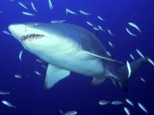 Postal: Pequeños peces acompañando a un gran tiburón