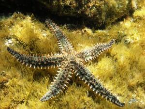 Gran estrella de mar (Marthasterias glacialis)
