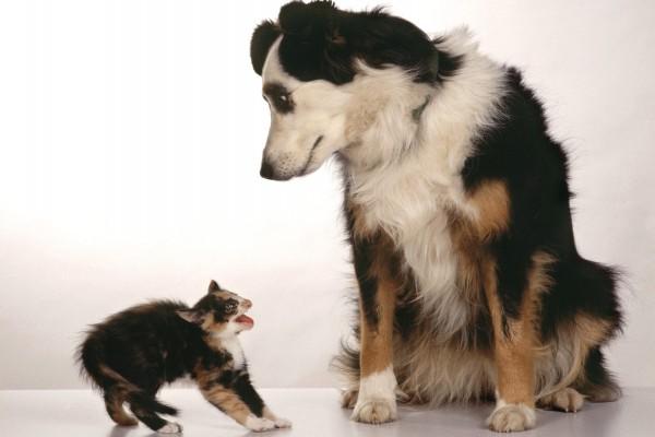Un pequeño gato enfurecido con el perro