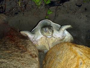 Tortuga escarbando en la arena para desovar