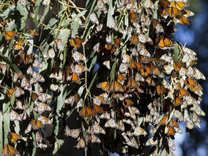 Postal: Mariposas monarca sobre hojas de eucalipto
