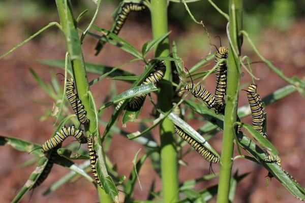 Orugas monarca alimentándose en una planta