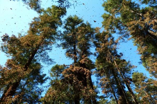 Árboles y cielo repletos de mariposas monarca