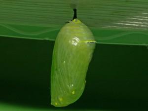 Crisálida verde pegada a una hoja