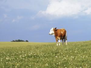 Vaca marrón y blanca en un prado