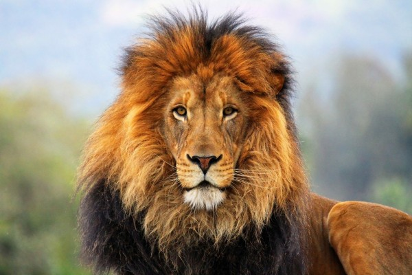 León con pelo de varios colores