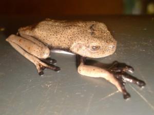 Una gran rana fuera de su hábitat