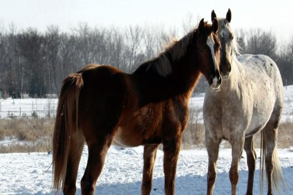 Dos caballos sobre la nieve