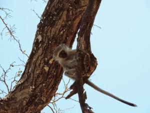 Pequeño mono observando desde el árbol