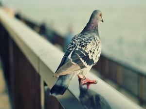 Postal: Una paloma posada