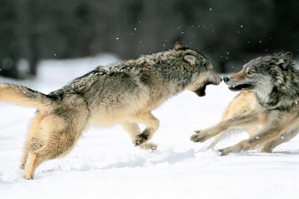 Lobos peleando sobre la nieve