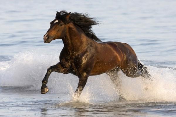 Caballo corriendo en el agua del mar