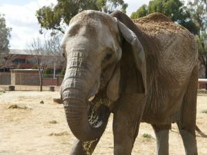 Elefante con comida en la trompa