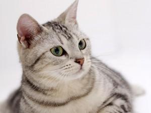 Postal: Bonito gato con rayas grises