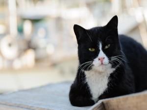Gato negro con el hocico blanco